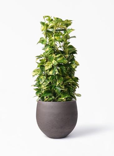 観葉植物 ポトス 8号 アディラボウル 濃茶 付き