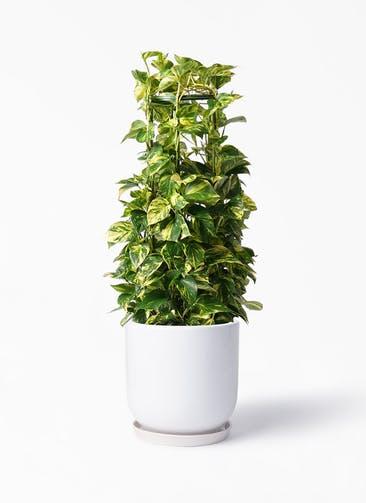 観葉植物 ポトス 8号 アファール 白 付き