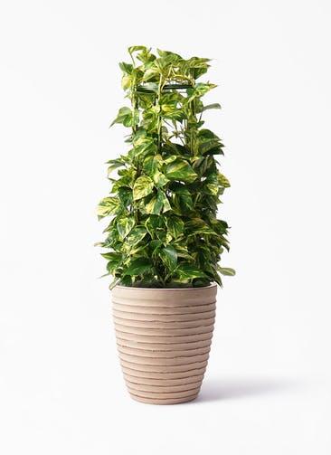 観葉植物 ポトス 8号 ウィスク 975 付き