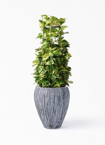観葉植物 ポトス 8号 コーテス ジャー チゼル 付き