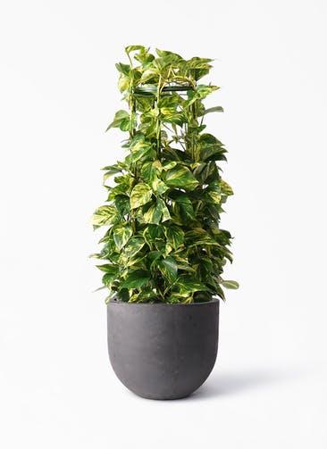 観葉植物 ポトス 8号 コンカー ラウンド 付き