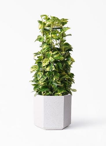 観葉植物 ポトス 8号 コーテス ヘックス ホワイトテラゾ 付き