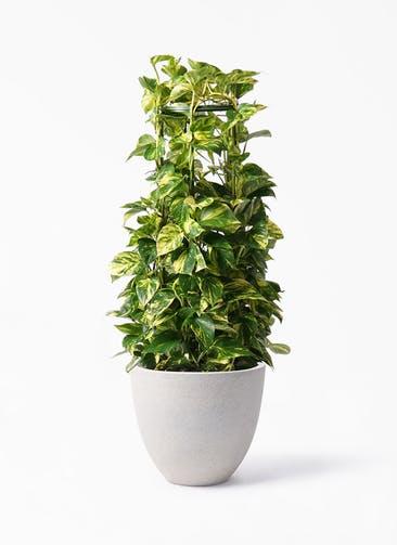 観葉植物 ポトス 8号 スタウト アッシュラウンド 付き