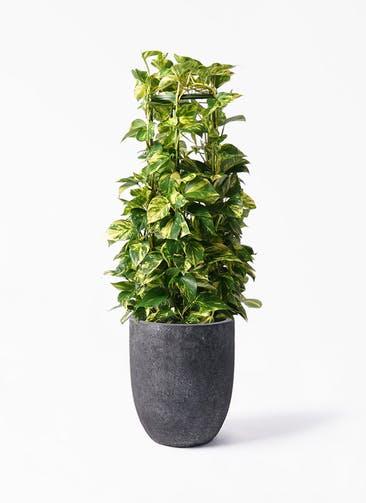 観葉植物 ポトス 8号 フォリオアルトエッグ ブラックウォッシュ 付き