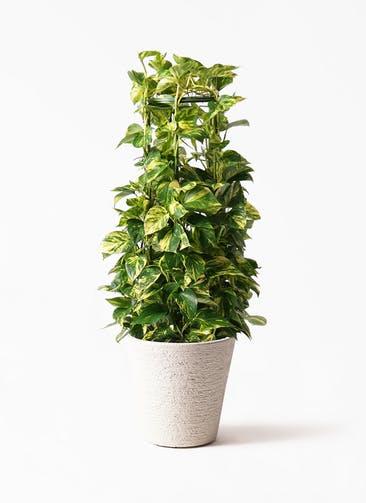 観葉植物 ポトス 8号 ビアスソリッド 白 付き