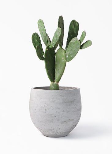 観葉植物 ウチワサボテン 8号 アディラボウル グレイウォッシュ 付き