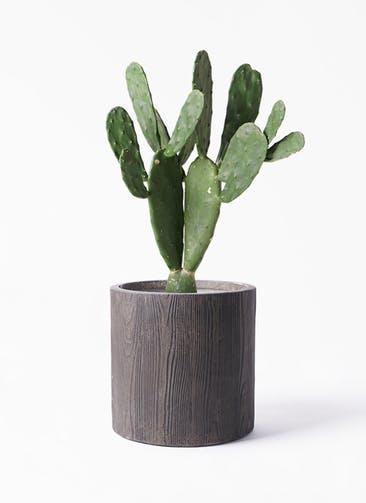 観葉植物 ウチワサボテン 8号 アルファ シリンダープランター ウッド 付き