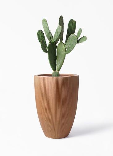 観葉植物 ウチワサボテン 8号 リブラ モノ ラスティ 付き