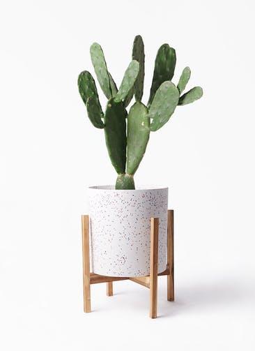 観葉植物 ウチワサボテン 8号 ホルスト シリンダー スパークルホワイト ウッドポットスタンド 付き