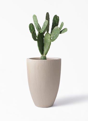 観葉植物 ウチワサボテン 8号 リブラ モノ ベージュ 付き