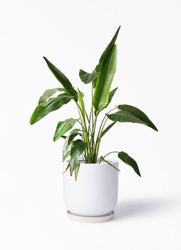 観葉植物 旅人の木 8号 アファール 白 付き