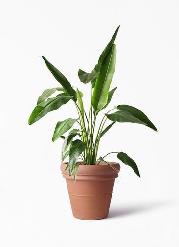 観葉植物 旅人の木 8号 トスカーナ リムポット 付き