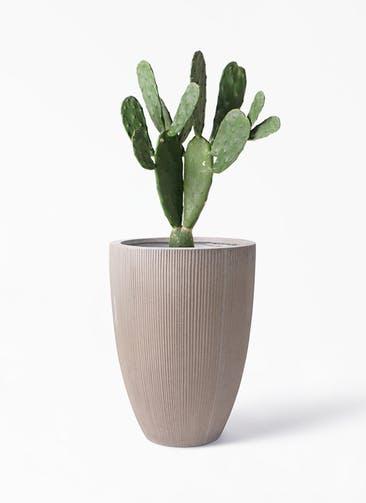 観葉植物 ウチワサボテン 8号 リブラ モノ ブラウン 付き