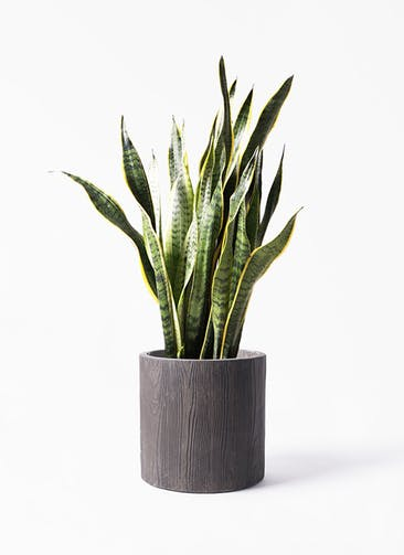 観葉植物 サンスベリア 8号 トラノオ アルファ シリンダープランター ウッド 付き