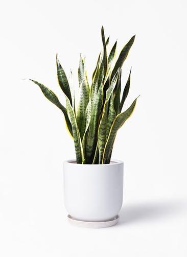 観葉植物 サンスベリア 8号 トラノオ アファール 白 付き