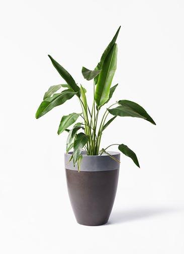 観葉植物 旅人の木 8号 ファイバーストーン カプリ マッドブラウン 付き