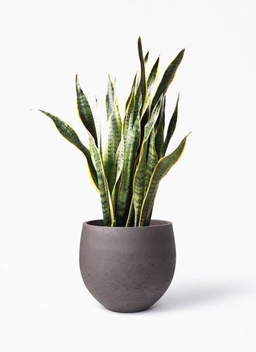 観葉植物 サンスベリア 8号 トラノオ アディラボウル 濃茶 付き