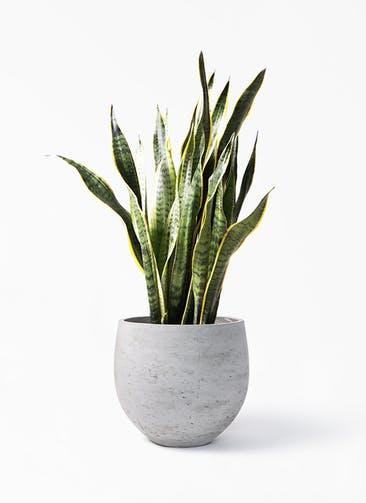 観葉植物 サンスベリア 8号 トラノオ アディラボウル グレイウォッシュ 付き