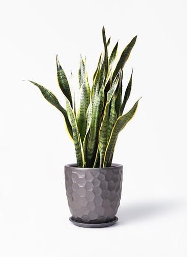 観葉植物 サンスベリア 8号 トラノオ サンタクルストール ブロンズ 付き