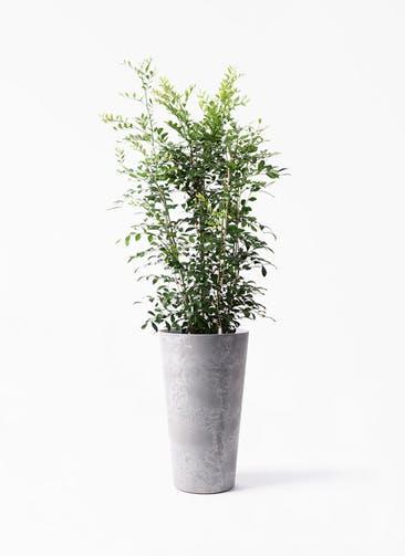 観葉植物 シルクジャスミン(げっきつ) 8号 アートストーン トールラウンド グレー 付き