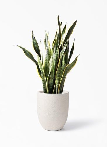 観葉植物 サンスベリア 8号 トラノオ フォリオアルトエッグ クリーム 付き