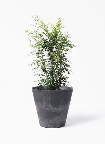 観葉植物 シルクジャスミン(げっきつ) 8号 アートストーン ラウンド ブラック 付き