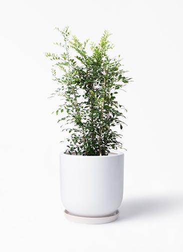 観葉植物 シルクジャスミン(げっきつ) 8号 アファール 白 付き