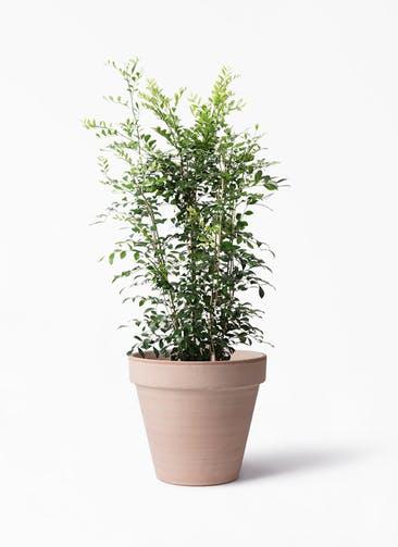 観葉植物 シルクジャスミン(げっきつ) 8号 スタンダルド アリーナ 付き