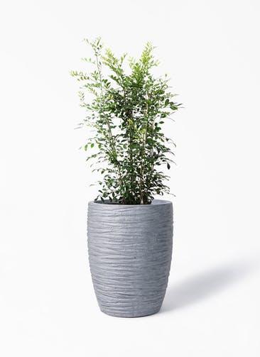 観葉植物 シルクジャスミン(げっきつ) 8号 サン ミドル リッジ 灰  付き