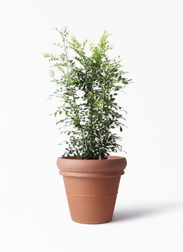 観葉植物 シルクジャスミン(げっきつ) 8号 トスカーナ リムポット 付き