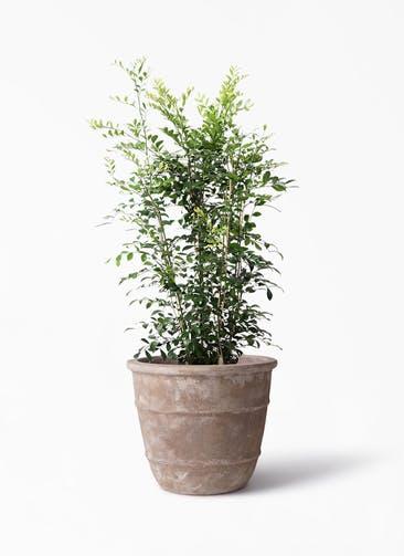 観葉植物 シルクジャスミン(げっきつ) 8号 テラアストラ シリウス 付き