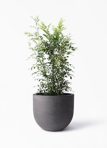観葉植物 シルクジャスミン(げっきつ) 8号 コンカー ラウンド 付き