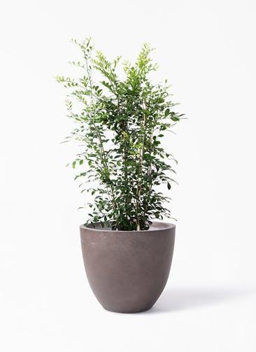 観葉植物 シルクジャスミン(げっきつ) 8号 エルム ラウンド ブラウン 付き
