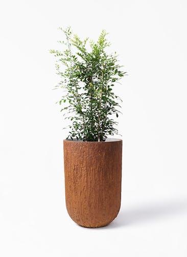観葉植物 シルクジャスミン(げっきつ) 8号 バル トール ラスティ 付き