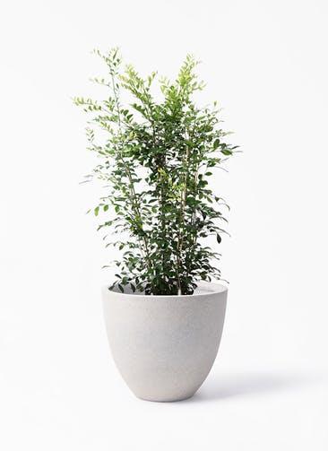 観葉植物 シルクジャスミン(げっきつ) 8号 スタウト アッシュラウンド 付き
