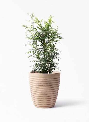 観葉植物 シルクジャスミン(げっきつ) 8号 ウィスク 975 付き