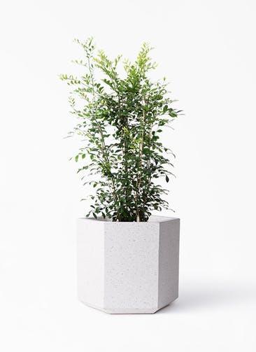 観葉植物 シルクジャスミン(げっきつ) 8号 コーテス ヘックス ホワイトテラゾ 付き