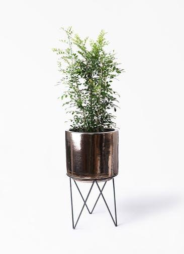 観葉植物 シルクジャスミン(げっきつ) 8号 ビトロ エンデカ ゴールド アイアンポットスタンド ブラック  付き