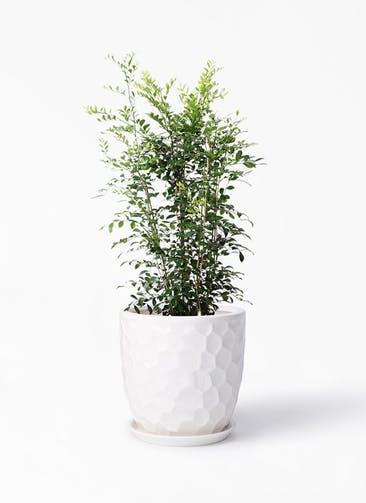 観葉植物 シルクジャスミン(げっきつ) 8号 サンタクルストール 白 付き