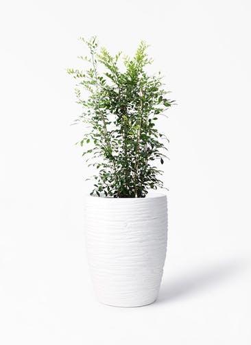 観葉植物 シルクジャスミン(げっきつ) 8号 サン ミドル リッジ 白 付き