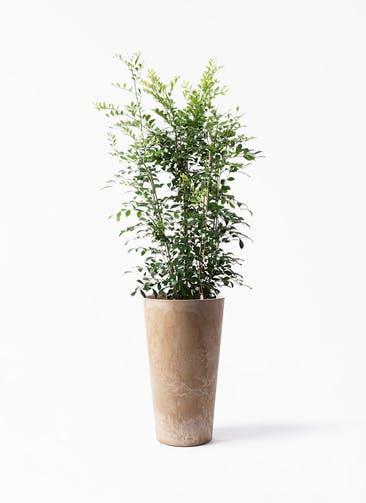 観葉植物 シルクジャスミン(げっきつ) 8号 アートストーン トールラウンド ベージュ 付き