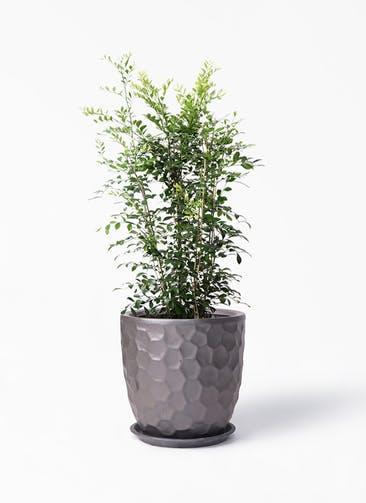 観葉植物 シルクジャスミン(げっきつ) 8号 サンタクルストール ブロンズ 付き