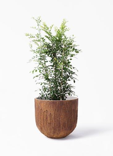 観葉植物 シルクジャスミン(げっきつ) 8号 バル ユーポット ラスティ  付き