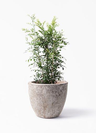 観葉植物 シルクジャスミン(げっきつ) 8号 アビスソニア ラウンド 付き
