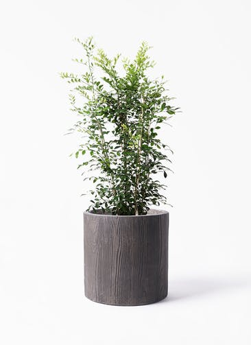 観葉植物 シルクジャスミン(げっきつ) 8号 アルファ シリンダープランター ウッド 付き