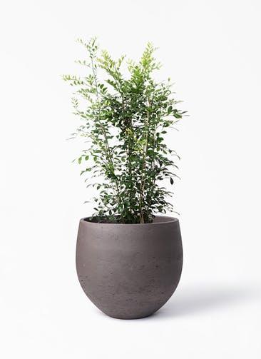 観葉植物 シルクジャスミン(げっきつ) 8号 アディラボウル 濃茶 付き