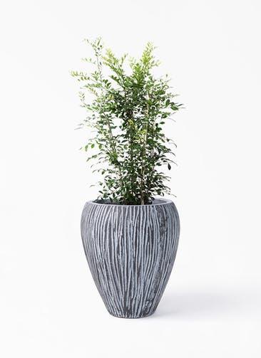 観葉植物 シルクジャスミン(げっきつ) 8号 コーテス ジャー チゼル 付き