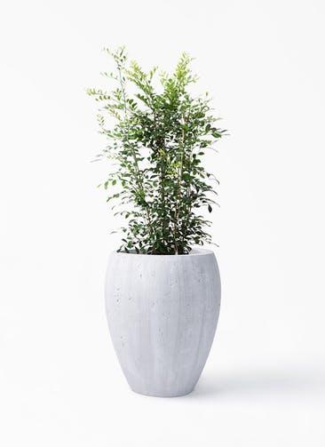 観葉植物 シルクジャスミン(げっきつ) 8号 コーテス ジャー ホワイトウォッシュ 付き