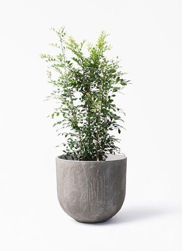 観葉植物 シルクジャスミン(げっきつ) 8号 バル ユーポット アンティークセメント 付き