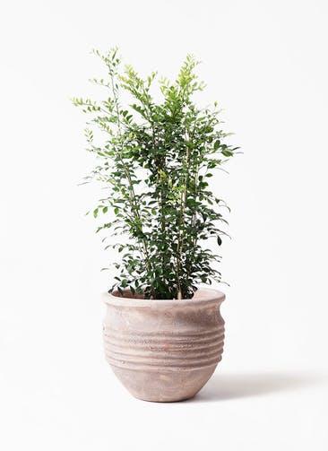 観葉植物 シルクジャスミン(げっきつ) 8号 テラアストラ リゲル 赤茶色 付き